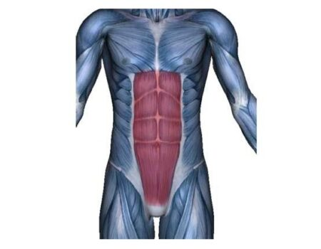 músculos rectos del abdomen