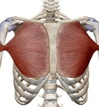 musculo pectoral mayor