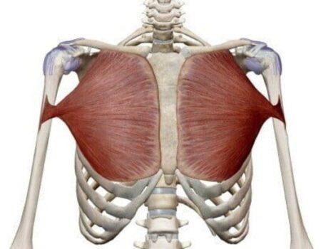 musculo pectoral mayor