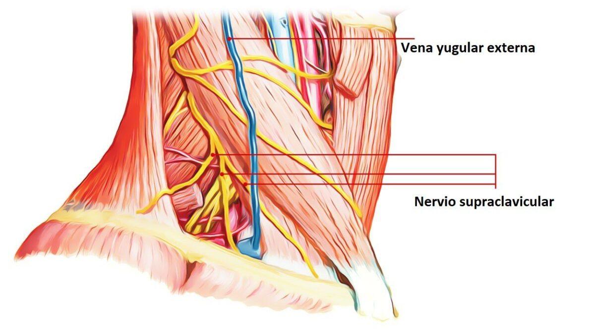 nervios supraclaviculares