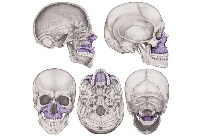 maxilar superior