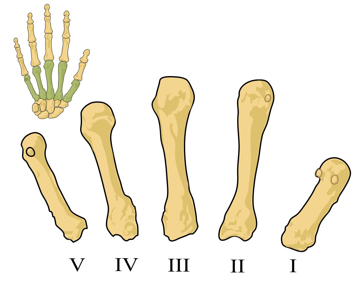 metacarpianos