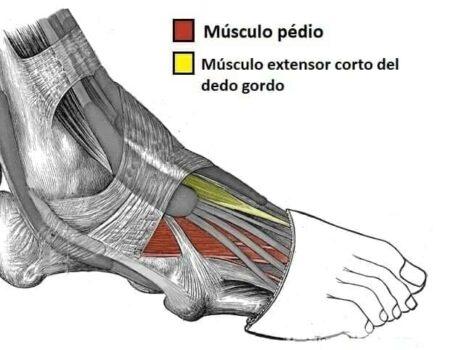 Músculos dorsales del pie