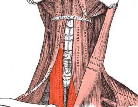 Músculo esternotiroideo