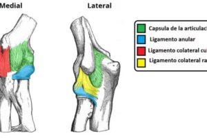 Ligamentos de la articulación del codo