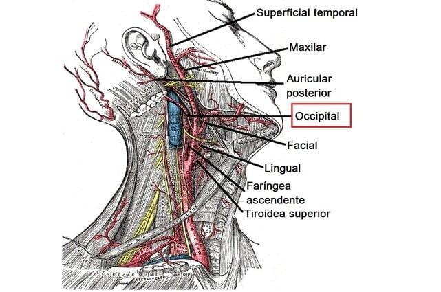 Arteria occipital