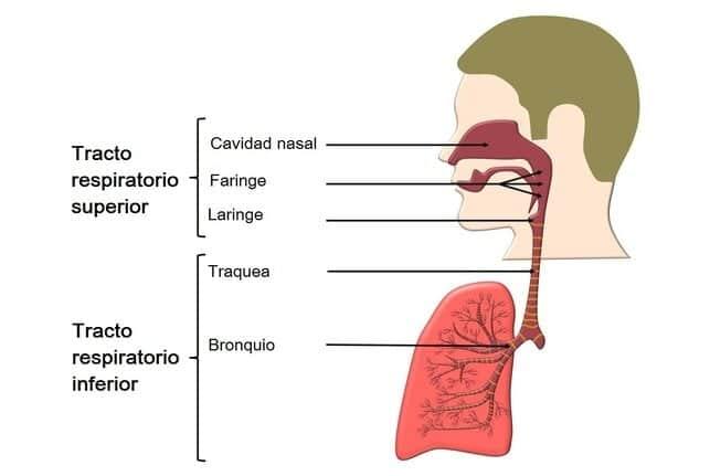 Histología del tracto respiratorio superior