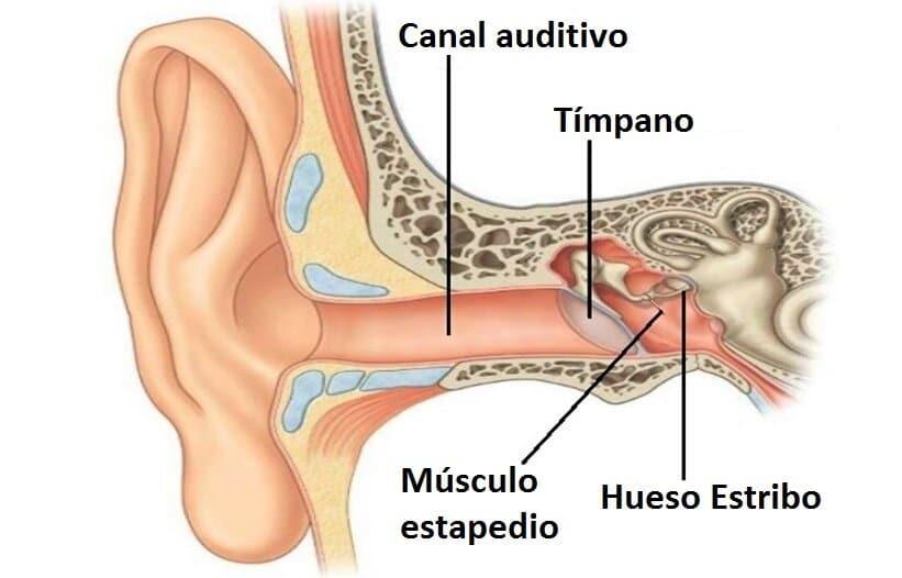 Músculo estapedio