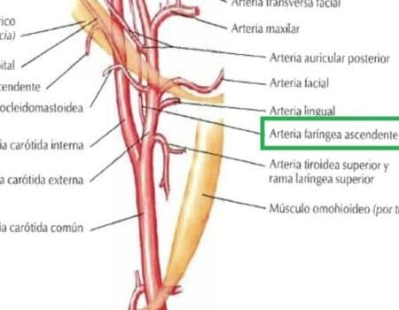 Arteria faríngea ascendente