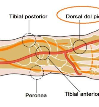 Arteria pedia