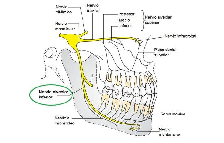 Nervio alveolar inferior