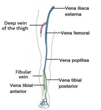 Drenaje venoso del miembro inferior
