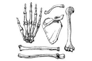 Huesos de la extremidad superior