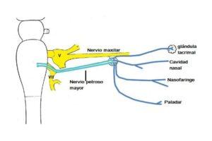 Inervación parasimpática a la cabeza y el cuello