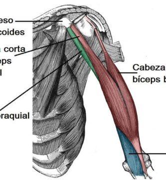 Músculos de la parte superior del brazo