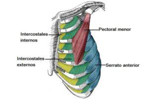 Músculos de la caja torácica