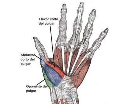 Músculos de la mano