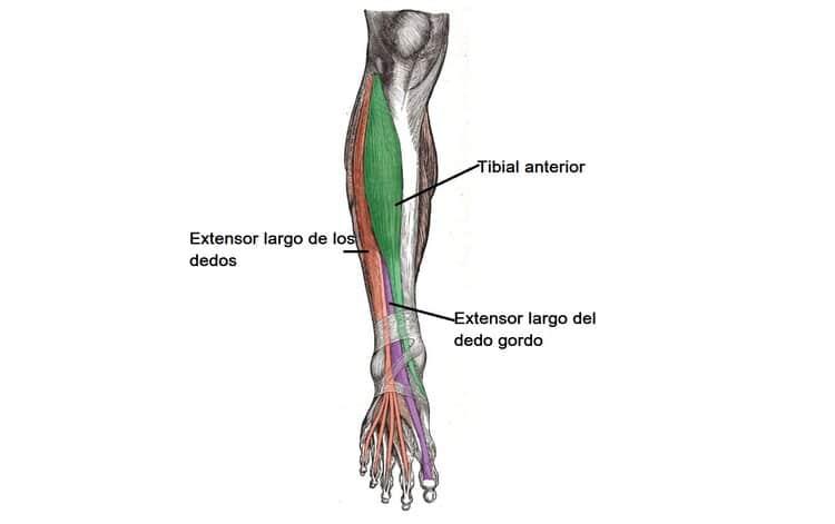 Músculos del compartimento anterior de la pierna