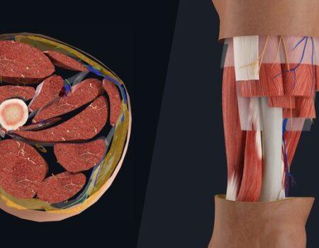 Músculos del compartimento anterior del muslo