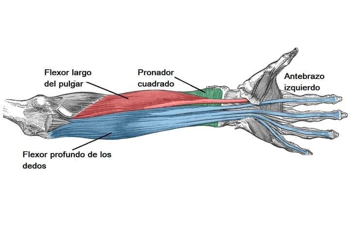 Músculos del compartimento anterior del antebrazo