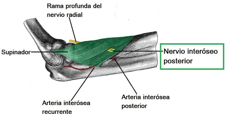 Nervio interóseo posterior