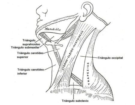 Triángulo posterior del cuello