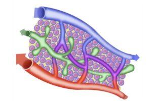 Vasos sanguíneos y linfáticos de la extremidad superior