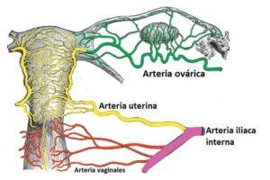 Arteria ovárica