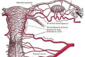 Arteria uterina