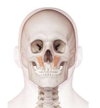 Músculo elevador del labio superior